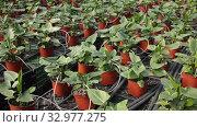 Купить «Spathiphyllum plants growing in flowerpots at glasshouse farm», видеоролик № 32977275, снято 29 октября 2019 г. (c) Яков Филимонов / Фотобанк Лори