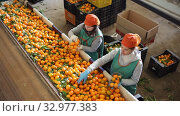 Female employee in colored uniform sorting fresh ripe mandarins on producing grading line. Стоковое видео, видеограф Яков Филимонов / Фотобанк Лори