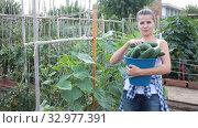 Купить «Young smiling woman picking harvest of fresh cucumbers in sunny garden», видеоролик № 32977391, снято 14 августа 2019 г. (c) Яков Филимонов / Фотобанк Лори