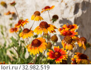 Купить «Flowers of gaillardia», фото № 32982519, снято 26 июня 2019 г. (c) Юлия Бабкина / Фотобанк Лори