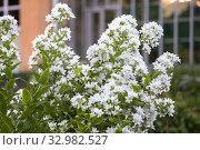 Купить «Колокольчик молочноцветковый (Gadellia lactiflora или Campanula lactiflora)», фото № 32982527, снято 12 июля 2018 г. (c) Юлия Бабкина / Фотобанк Лори