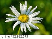 Купить «Капли росы на цветке нивяника», эксклюзивное фото № 32982575, снято 2 сентября 2019 г. (c) Dmitry29 / Фотобанк Лори