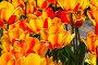 Купить «Тюльпаны сорта Хотпантс  (Hotpants). Аптекарский Огород (филиал ботанического сада МГУ), Москва.», фото № 32982711, снято 4 мая 2018 г. (c) Сергей Рыбин / Фотобанк Лори