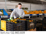 Купить «Man working on sorting line at fruit warehouse, stacking boxes with selected tangerines», фото № 32983839, снято 10 декабря 2019 г. (c) Яков Филимонов / Фотобанк Лори