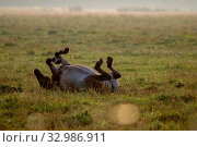 Купить «Herd of horses grazing in a meadow in the mist. Horses in a foggy meadow in autumn. Horses and foggy morning in Kemeri National Park, Latvia. Wild horse sleeping in the meadow on misty summer morning.», фото № 32986911, снято 7 июня 2020 г. (c) easy Fotostock / Фотобанк Лори