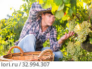 Male farmer harvesting white grapes. Стоковое фото, фотограф Яков Филимонов / Фотобанк Лори
