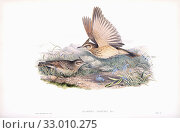 Купить «Crested lark. Galerida cristata. After a work by English ornitholgist and bird artist John Gould, 1804 - 1881. From his book The Birds of Great Britain, published 1873.», фото № 33010275, снято 7 июля 2019 г. (c) age Fotostock / Фотобанк Лори