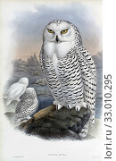 Купить «Snowy Owl. Nyctea Nivea. Now known as Bubo scandiacus. After a work by English ornitholgist and bird artist John Gould, 1804 - 1881. From his book The Birds of Great Britain, published 1873.», фото № 33010295, снято 7 июля 2019 г. (c) age Fotostock / Фотобанк Лори