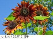 Декоративные подсолнухи цветут в саду. Стоковое фото, фотограф Елена Коромыслова / Фотобанк Лори