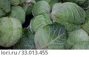 Купить «Closeup of fresh savoy cabbages. Vegetable background. Vegetarian food concept», видеоролик № 33013455, снято 20 ноября 2019 г. (c) Яков Филимонов / Фотобанк Лори