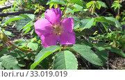 Купить «Цветущий шиповник. Насекомые на цветке шиповника», видеоролик № 33019019, снято 25 июня 2019 г. (c) Олег Хархан / Фотобанк Лори