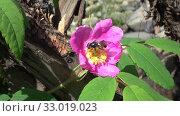 Черная муха на цветке шиповника. Стоковое видео, видеограф Олег Хархан / Фотобанк Лори