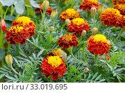 Бархатцы (лат. Tagetes) цветут на клумбе в саду. Стоковое фото, фотограф Елена Коромыслова / Фотобанк Лори