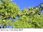 Chañar or Chilean palo verde (Geoffroea decorticans) is a deciduous small tree native to South America. Its fruits are edible. This photo was taken near... Стоковое фото, фотограф J M Barres / age Fotostock / Фотобанк Лори