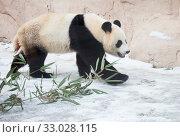 Большая панда, белая панда, гигантская панда (Giant Panda) Стоковое фото, фотограф Галина Савина / Фотобанк Лори