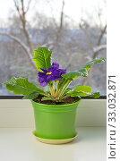 Фиолетовая примула (лат. Primula vulgaris) в горшке на подоконнике. Стоковое фото, фотограф Елена Коромыслова / Фотобанк Лори