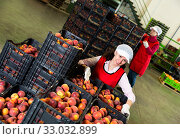 Two females packaging fresh peaches. Стоковое фото, фотограф Яков Филимонов / Фотобанк Лори
