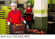 Купить «Female in process of sorting and packaging apricots», фото № 33032903, снято 8 июня 2019 г. (c) Яков Филимонов / Фотобанк Лори