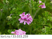 Grassy plant Geranium meadow at sunny day, nobody. Стоковое фото, фотограф Яков Филимонов / Фотобанк Лори