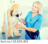 Купить «woman hairdresser cuts Afghan puppy Shepherd in beauty salon for animals», фото № 33033491, снято 17 октября 2017 г. (c) Татьяна Яцевич / Фотобанк Лори