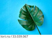 Купить «monstera deliciosa leaf or swiss cheese plant», фото № 33039067, снято 16 ноября 2018 г. (c) Syda Productions / Фотобанк Лори