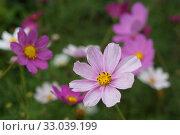 Купить «Разноцветная космея или космос (лат. Cоsmos) или мексиканская астра.  Красивые,  крупные цветы на клумбе. Распространенное декоративное растение.», фото № 33039199, снято 3 августа 2019 г. (c) М Б / Фотобанк Лори