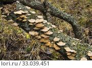 Купить «Грибы трутовики на дереве. Parasitic bracket fungi on a tree.», фото № 33039451, снято 4 ноября 2013 г. (c) Евгений Романов / Фотобанк Лори