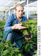 Купить «Young female gardener in gloves working with seedlings of euphorbia pulcherrima in pots», фото № 33039455, снято 3 октября 2018 г. (c) Яков Филимонов / Фотобанк Лори