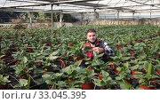 Купить «Young male farmer caring for young Spathiphyllum plants in greenhouse farm», видеоролик № 33045395, снято 29 октября 2019 г. (c) Яков Филимонов / Фотобанк Лори