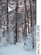 Купить «Иней в бору. Сибирь.», эксклюзивное фото № 33045699, снято 8 января 2020 г. (c) Анатолий Матвейчук / Фотобанк Лори