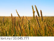 With the growing field of ripe wheat. Стоковое фото, фотограф Алексей Хромушин / Фотобанк Лори