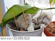 Антивандальная защита комнатного растения от кошек: плохо помогает. Стоковое фото, фотограф Светлана Федорова / Фотобанк Лори