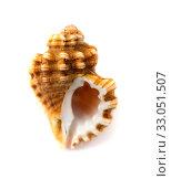 Купить «small seasnail isolated on white», фото № 33051507, снято 15 января 2020 г. (c) Tamara Kulikova / Фотобанк Лори