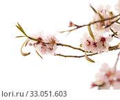 Купить «Цветущие ветки миндаля на белом фоне», фото № 33051603, снято 21 января 2020 г. (c) Tamara Kulikova / Фотобанк Лори