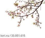 Купить «Цветущие ветки миндаля на белом фоне», фото № 33051615, снято 21 января 2020 г. (c) Tamara Kulikova / Фотобанк Лори