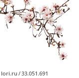 Купить «Цветущие ветки миндаля на белом фоне», фото № 33051691, снято 26 января 2020 г. (c) Tamara Kulikova / Фотобанк Лори