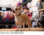 Portrait of Chihuahua dog in a pet store. Стоковое фото, фотограф Яков Филимонов / Фотобанк Лори