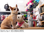 Portrait of chihuahua and west highland terrier dogs in a pet store. Стоковое фото, фотограф Яков Филимонов / Фотобанк Лори