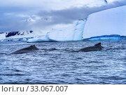 Купить «Two Humback Baleen Whales Chasing Krill Blue Iceberg Floating Sea Water Charlotte Bay Antarctic Peninsula Antarctica. Baleen Whale.», фото № 33067007, снято 26 августа 2019 г. (c) easy Fotostock / Фотобанк Лори