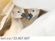 Купить «Mute swan (Cygnus olor), two cygnets sheltering under parent's wing. Richmond Park, London, England, UK. April.», фото № 33067607, снято 22 февраля 2020 г. (c) Nature Picture Library / Фотобанк Лори