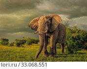 Купить «African Elephant (Loxodonta africana) bull, Masai Mara, Kenya», фото № 33068551, снято 29 мая 2020 г. (c) Nature Picture Library / Фотобанк Лори