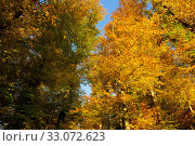 Купить «Trees with golden leaves in autumn and sunrays.Colorful autumn background.», фото № 33072623, снято 9 апреля 2020 г. (c) easy Fotostock / Фотобанк Лори