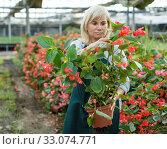 Купить «Female gardener working with red begonia plants in pots in greenhouse», фото № 33074771, снято 20 августа 2018 г. (c) Яков Филимонов / Фотобанк Лори