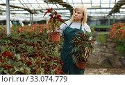 Купить «Mature female gardener working with begonia plants in pots in greenhouse», фото № 33074779, снято 20 августа 2018 г. (c) Яков Филимонов / Фотобанк Лори