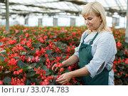 Mature female florist in apron working with begonia plants in hothouse. Стоковое фото, фотограф Яков Филимонов / Фотобанк Лори