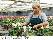 Купить «Mature woman taking care of cyclamen flowers indoors in hothouse», фото № 33074799, снято 20 августа 2018 г. (c) Яков Филимонов / Фотобанк Лори