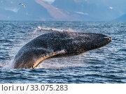 Купить «Humpback whale (Megaptera novaeangliae) breaching, Svalbard, Norway, September.», фото № 33075283, снято 20 февраля 2020 г. (c) Nature Picture Library / Фотобанк Лори