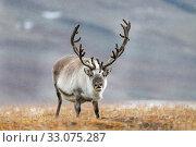 Купить «Svalbard reindeer (Rangifer tarandus platyrhynchus) male, Svalbard, Norway, September.», фото № 33075287, снято 22 февраля 2020 г. (c) Nature Picture Library / Фотобанк Лори