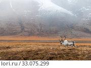 Купить «Svalbard reindeer (Rangifer tarandus platyrhynchus) male, Svalbard, Norway, September.», фото № 33075299, снято 22 февраля 2020 г. (c) Nature Picture Library / Фотобанк Лори