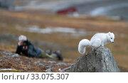 Купить «Arctic fox (Vulpes lagopus) and photographer, Svalbard, Norway, September.», фото № 33075307, снято 23 февраля 2020 г. (c) Nature Picture Library / Фотобанк Лори